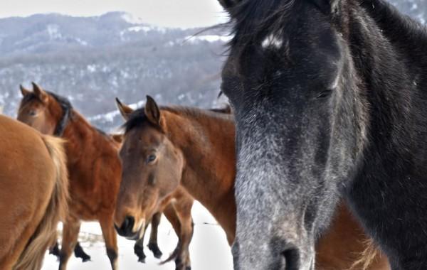 Cavalls 7