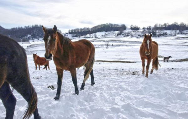 Cavalls 8