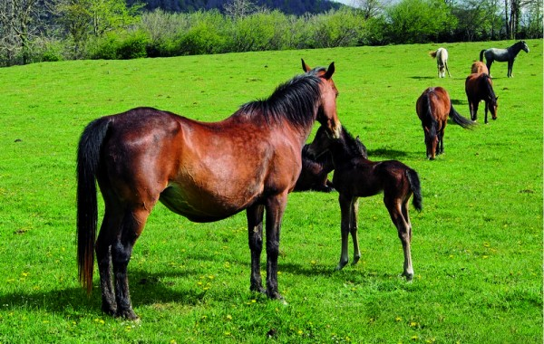Cavalls 13
