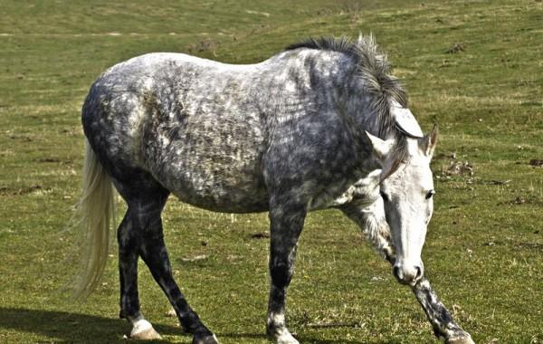 Cavalls 19